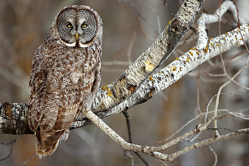 BRD 07 MC0004 01 © Kimball Stock Great Gray Owl Sitting On Tree Branch Montana