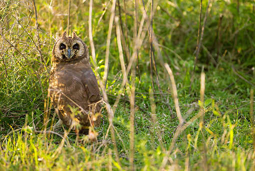 BRD 07 MC0005 01 © Kimball Stock Marsh Owl Sitting In Marsh Field Tanzania