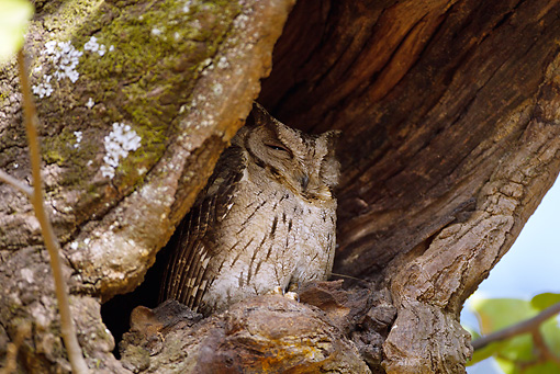 BRD 07 MC0006 01 © Kimball Stock Collared Scops Owl Roosting In Hollowed Out Nest Hole In Tree Bandhavgarh National Park In Madhya Pradesh, India