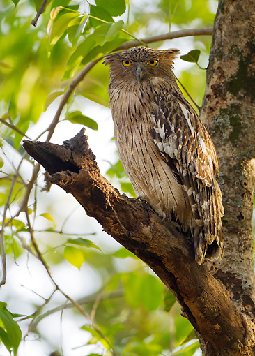 BRD 07 MC0009 01 © Kimball Stock Brown Fish Owl Roosting Near Nest In Bandhavgarh National Park, Madhya Pradesh, India