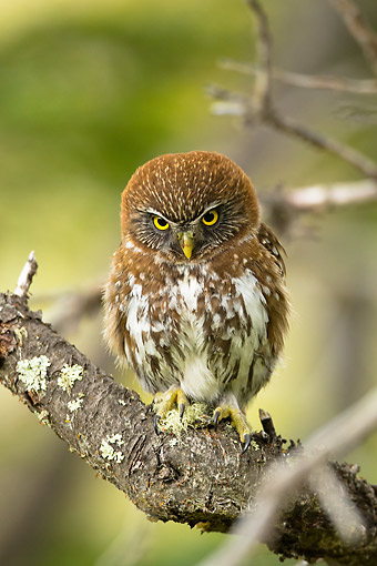 BRD 07 MC0011 01 © Kimball Stock Austral Pygmy Owl Perched On Branch, Chile, South America