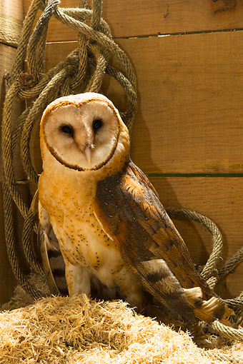 BRD 07 MC0012 01 © Kimball Stock Barn Owl Standing In Hay With Rope In Pennsylvania, United States