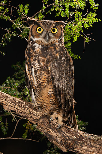 BRD 07 MC0014 01 © Kimball Stock Great Horned Owl Perching On Branch