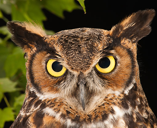 BRD 07 MC0015 01 © Kimball Stock Great Horned Owl Portrait