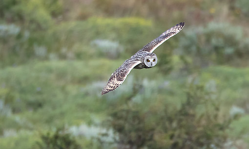 BRD 07 MC0017 01 © Kimball Stock Short-Eared Owl Flying, Chile