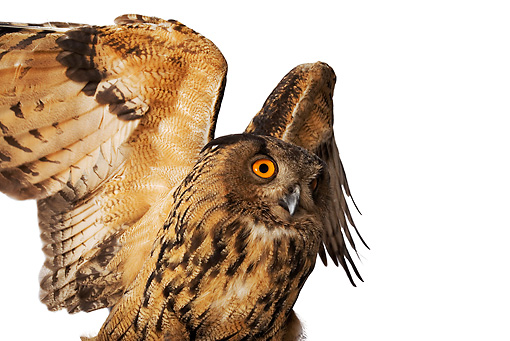 BRD 07 MH0002 01 © Kimball Stock Close Up Of Eurasian Eagle Owl Spreading Wings In Studio
