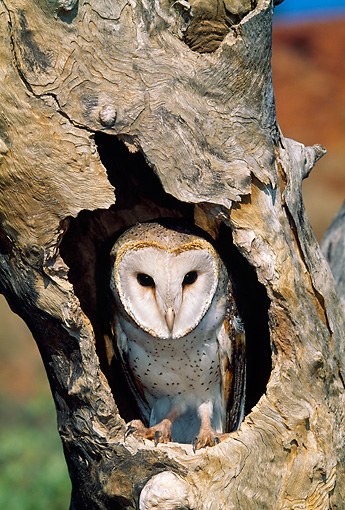BRD 07 MH0004 01 © Kimball Stock Barn Owl Perched In Tree Hole