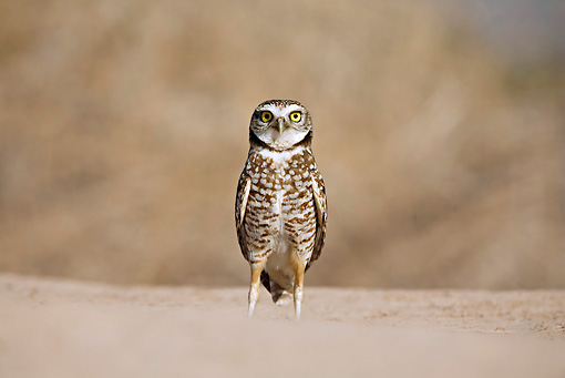 BRD 07 RF0015 01 © Kimball Stock Burrowing Owl Standing In Desert
