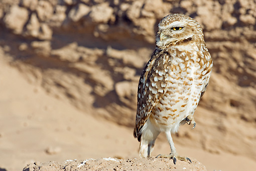 BRD 07 RF0016 01 © Kimball Stock Burrowing Owl Standing On Rock In Desert