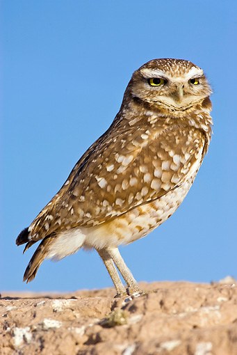 BRD 07 RF0017 01 © Kimball Stock Burrowing Owl Standing On Rock In Desert