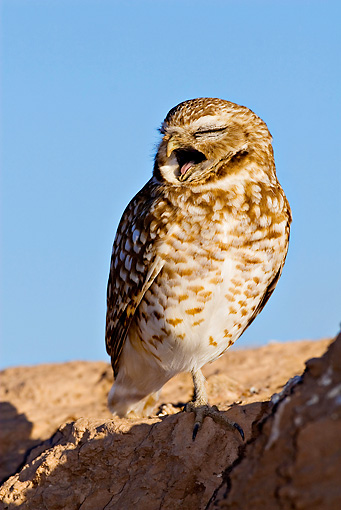 BRD 07 RF0018 01 © Kimball Stock Burrowing Owl Standing On Rock In Desert Yawning