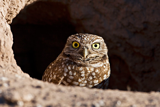 BRD 07 RF0019 01 © Kimball Stock Burrowing Owl Sitting In Burrow In Desert