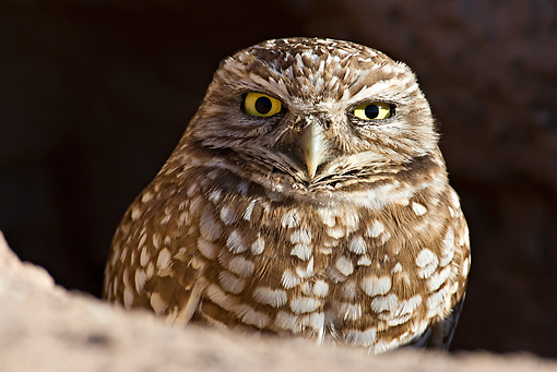 BRD 07 RF0020 01 © Kimball Stock Burrowing Owl Sitting In Burrow In Desert