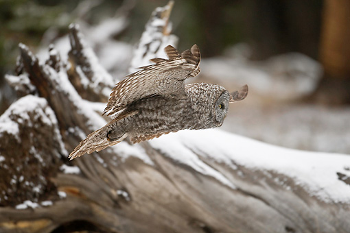 BRD 07 RF0023 01 © Kimball Stock Great Grey Owl Flying In Forest