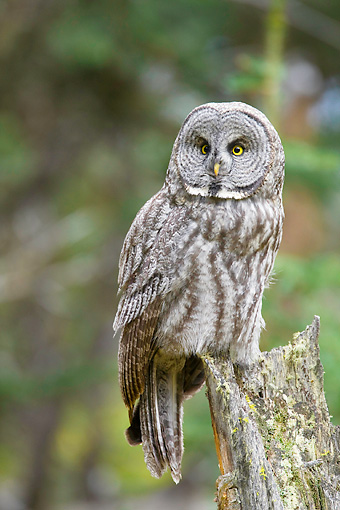 BRD 07 RF0025 01 © Kimball Stock Great Grey Owl Sitting On Stump In Forest