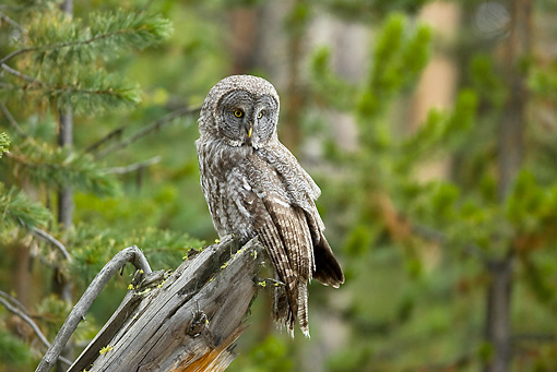 BRD 07 RF0026 01 © Kimball Stock Great Grey Owl Sitting On Dead Tree In Forest