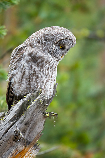 BRD 07 RF0027 01 © Kimball Stock Great Grey Owl Sitting On Dead Tree In Forest