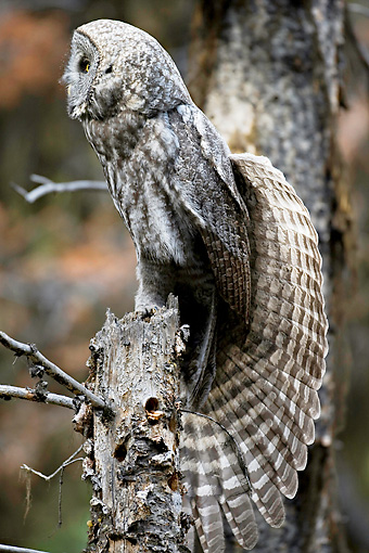 BRD 07 RF0028 01 © Kimball Stock Great Grey Owl Sitting On Dead Tree In Forest