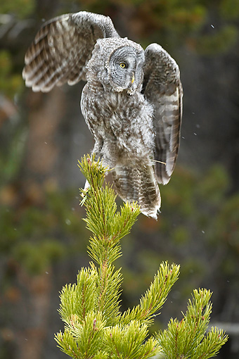 BRD 07 RF0029 01 © Kimball Stock Great Grey Owl Sitting On Pine Tree In Forest Spreading Wings
