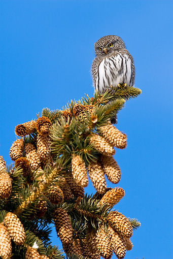 BRD 07 RF0030 01 © Kimball Stock Northern Pygmy Owl Sitting On Pine Tree