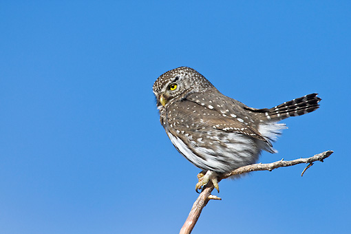 BRD 07 RF0033 01 © Kimball Stock Northern Pygmy Owl Sitting On Branch