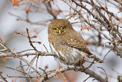 BRD 07 RF0034 01 © Kimball Stock Northern Pygmy Owl Sitting On Branch In Tree