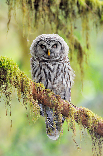 BRD 07 TL0007 01 © Kimball Stock Barred Owl Sleeping On Mossy Branch