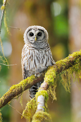 BRD 07 TL0008 01 © Kimball Stock Barred Owl Perching On Mossy Branch