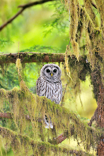 BRD 07 TL0009 01 © Kimball Stock Barred Owl Perching On Mossy Branch