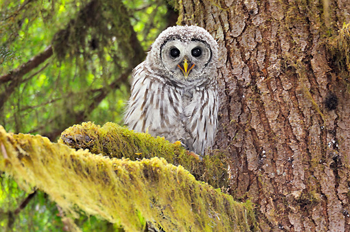 BRD 07 TL0010 01 © Kimball Stock Barred Owl Perching On Mossy Branch