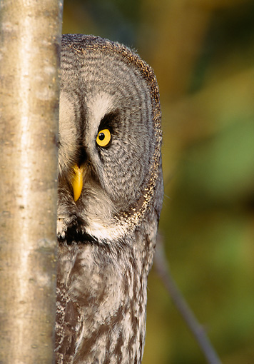 BRD 07 WF0001 01 © Kimball Stock Portrait Of Great Grey Owl Female Peeking Around Edge Of Tree Trunk