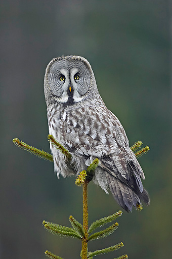 BRD 07 WF0003 01 © Kimball Stock Portrait Of Great Grey Owl Perched On Spruce Tree