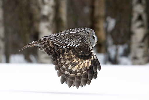 BRD 07 WF0004 01 © Kimball Stock Great Grey Owl In Flight Over Snow Profile
