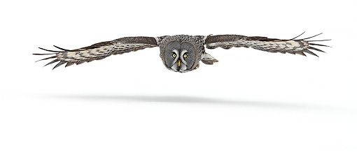 BRD 07 WF0005 01 © Kimball Stock Great Grey Owl In Flight Over Snow