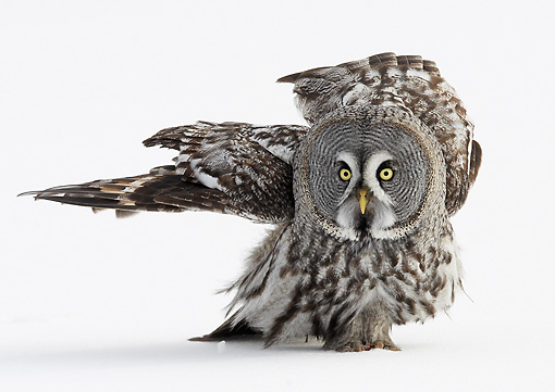 BRD 07 WF0006 01 © Kimball Stock Great Grey Owl Walking On Snow