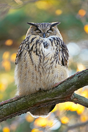 BRD 07 WF0007 01 © Kimball Stock Eurasian Eagle Owl Sleeping On Tree Branch