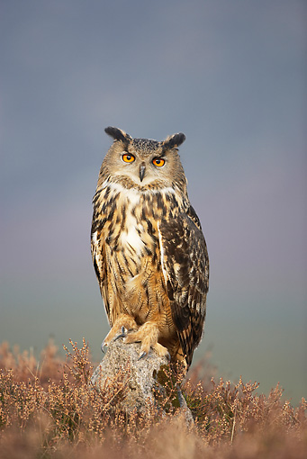 BRD 07 WF0008 01 © Kimball Stock Eurasian Eagle Owl Perched On Rock In Field