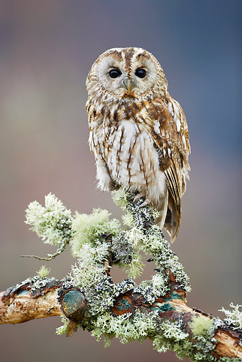 BRD 07 WF0009 01 © Kimball Stock Tawny Owl Perched On Lichen-Covered Branch