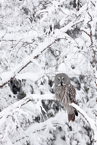 BRD 07 WF0011 01 © Kimball Stock Great Grey Owl Perched In Snowy Tree