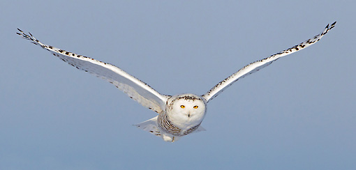 BRD 07 WF0012 01 © Kimball Stock Snowy Owl In Flight