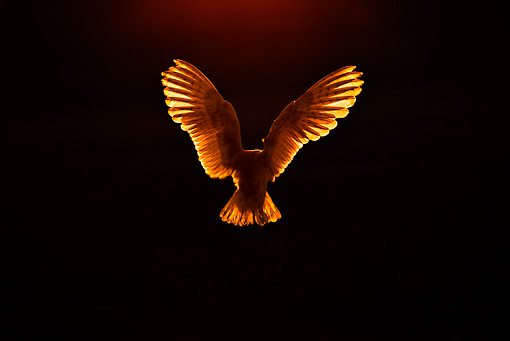 BRD 07 WF0014 01 © Kimball Stock Back View Of Barn Owl Hovering At Sunset