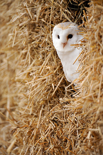 BRD 07 WF0015 01 © Kimball Stock Barn Owl Roosting In Straw Stack