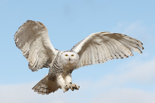 BRD 07 WF0016 01 © Kimball Stock Snowy Owl In Flight