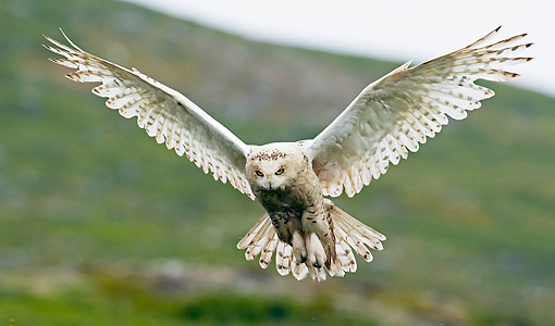 BRD 07 WF0017 01 © Kimball Stock Snowy Owl In Flight Over Hills