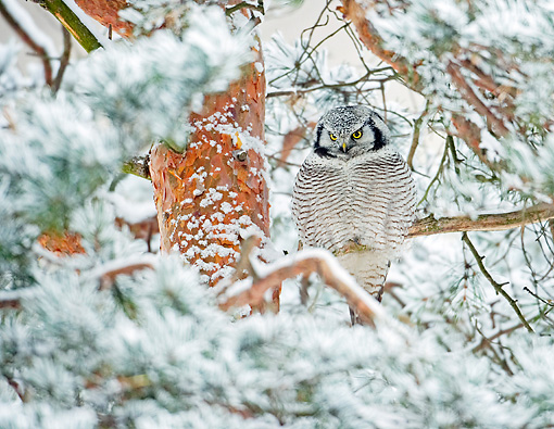 BRD 07 WF0018 01 © Kimball Stock Northern Hawk Owl Perched In Snowy Pine Tree