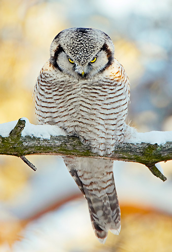 BRD 07 WF0019 01 © Kimball Stock Northern Hawk Owl Perched On Snowy Tree Branch