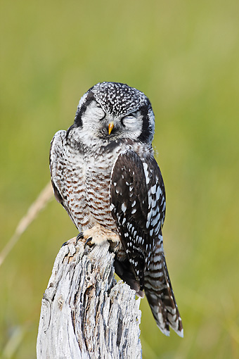 BRD 07 WF0020 01 © Kimball Stock Northern Hawk Owl Perched On Stump With Eyes Closed