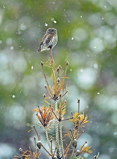 BRD 07 WF0021 01 © Kimball Stock Pygmy Owl Perched On Dead Pine Tree In Falling Snow