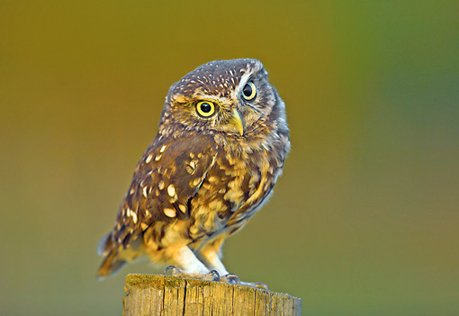 BRD 07 WF0022 01 © Kimball Stock Little Owl Perched On Wooden Post