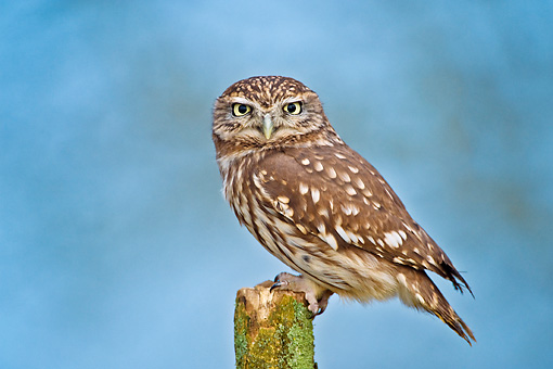 BRD 07 WF0023 01 © Kimball Stock Little Owl Perched On Wooden Post